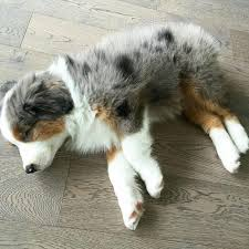 australian shepherd kid friendly 17 reasons australian shepherds are the worst possible breed of