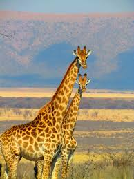 2 giraffe on green grass field in close up photography free