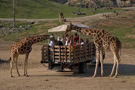 San Diego Zoo Safari Park Map by Tag Archives Giraffes
