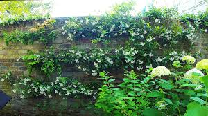 re tying espalier of a climbing rose a wisteria and a