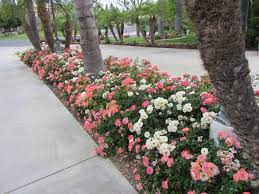 drift roses drift roses in landscape drift groundcover roses