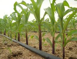 irrigated corn increases of up to 40 in corn yield in india show the value of