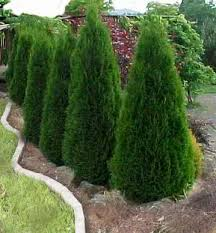 evergreens for sale wholesale evergreen trees and shrubs