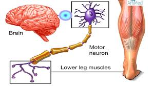Anatomy And Physiology Of The Brain How Nervous System Works Animation Nerve Conduction Physiology
