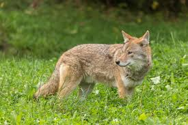 coyotes and foxes city of lenexa