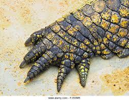 alligator claws crocodile stock photos crocodile stock images alamy