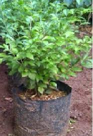Teh Tehan jual tanaman dan rumput taman jual tanaman teh tehan tukang pohon
