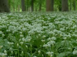 plante de cuisine images gratuites forêt herbe blanc ch pelouse prairie