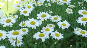 shasta daisy becky leucanthemum superbum shasta daisy