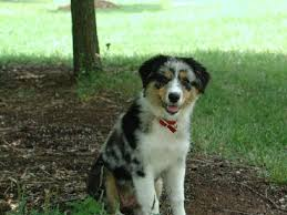 australian shepherd 4 weeks old breed love australian shepherd u2013 doggerel