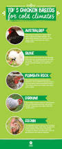 Best Backyard Chicken Breeds by 28 Best Keeping Chickens Warm Images On Pinterest Keeping
