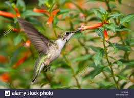 ruby throated hummingbird stock photos u0026 ruby throated hummingbird
