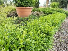 hedging plants budget wholesale nursery hardy and healthy wholesale nursery hardy and healthy
