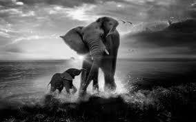 elephant black and white wallpaper hd for desktop wallpaper long