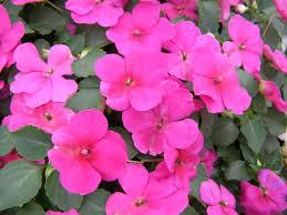impatiens flowers dazzler violet impatiens