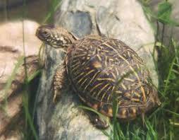 general box turtle care