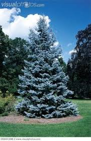blue spruce trees colorado blue spruce tree putting one in my backyard deer