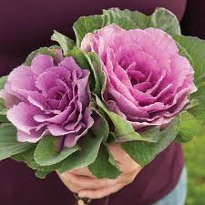 sunset ornamental kale seed johnny s selected seeds