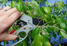 when to prune native plants ficus pruning tips u2013 when and how to prune a ficus tree