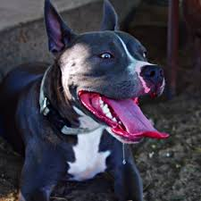 blue american pitbull terrier adopted gorgeous grizzly purebred 1 yo male blue nose american