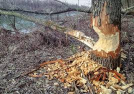 thick tree trunk at the riverside which was gnawed by a beaver