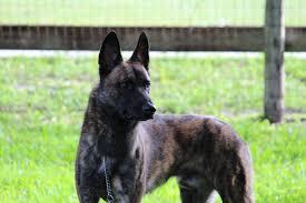 belgian shepherd kennels recently sold protection dogs high class k9 protection dogshigh