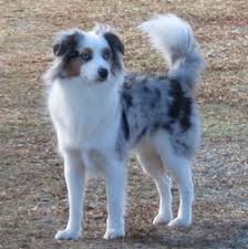 australian shepherd toy size aussies with long tails kaleidoscope toy and miniature natural