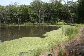 native uk pond plants controlling aquatic vegetation with grass carp