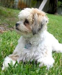 bichon frise kentucky bichon frise u0026 shih tzu mix lovable furry friends pinterest