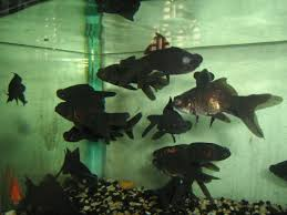 local aquarium fish capture 3 of the world market the weekly post