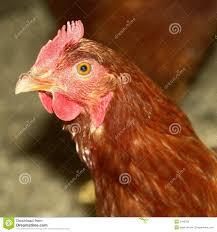 chicken farm hen bird royalty free stock photo image 5183795