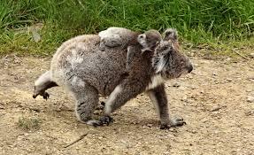 crazy fun facts koala pets cute docile