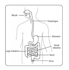 labeled digestive system diagram diagram gallery wiring diagram