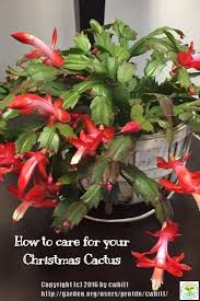 difference between thanksgiving and christmas best 25 christmas cactus ideas that you will like on pinterest