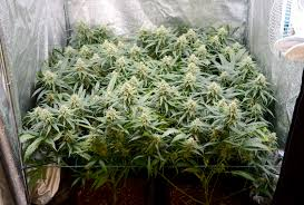 northern lights yield indoor how much marijuana can one plant produce a pound