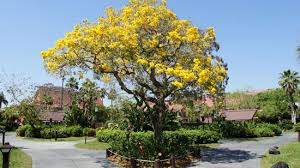 bright yellow flowers fill south florida thanks to tabebuia tree