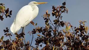 heron meaning white heron kōtuku new zealand native wetland and river birds