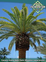 sylvester palm tree price groundworks available palm trees