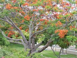 royal poinciana tree orange flowers sarasota book cover pics