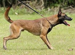 belgian shepherd malaysia k9 schutzhund working dog thailand malaysia
