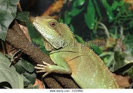 green iguana terrarium stock photos u0026 green iguana terrarium stock