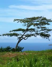 hawaiian tree by blackhole12 on deviantart