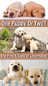 one labrador puppy or two