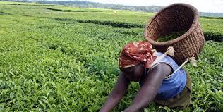 Seeking Tea Bomet Farmers Seek Vote In Running Of Tea Factories Business Daily
