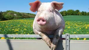 pig fence ngsversion 1396530611778 jpg