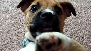 american eskimo dog jack russell mix franky the jug jack russell pug cross youtube