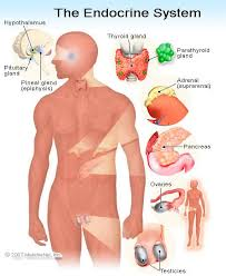 Human Belly Anatomy Endocrine System Anatomy Facts On Glands And Functions