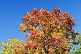 trees you may not want in your yard safebee