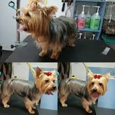 types of yorkie haircuts yorkie haircuts for males and females 60 pictures yorkie life