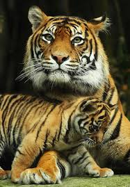 australian zoo welcomes tiger cubs baby zoo